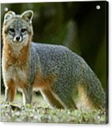 Gray Fox On Alert Acrylic Print