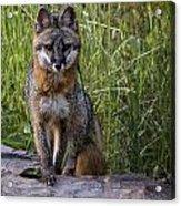 Gray Fox Posing Acrylic Print
