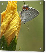Gray Hairstreak Butterfly Acrylic Print