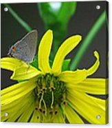 Gray Hairstreak Butterfly Acrylic Print