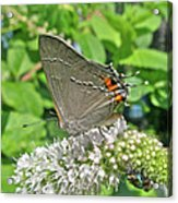 Gray Hairstreak Butterfly - Strymon Melinus Acrylic Print