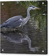Gray Heron And Reflection Acrylic Print