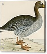 Gray Lag Goose Acrylic Print