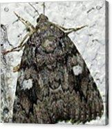 Gray Owlet Moth Acrylic Print