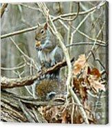 Gray Squirrel - Sciurus Carolinensis Acrylic Print