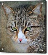 Gray Tabby Cat Acrylic Print by Jai Johnson