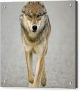 Gray Wolf Denali National Park Alaska Acrylic Print