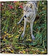 Gray Wolf Drinking Acrylic Print