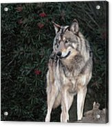 Gray Wolf Endangered Species Wildlife Rescue Acrylic Print