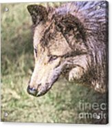 Gray Wolf Grey Wolf Canis Lupus Acrylic Print