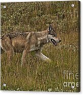 Gray Wolf Hunting Acrylic Print