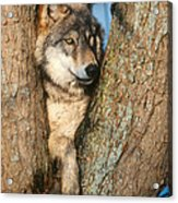 Gray Wolf In Tree Canis Lupus Acrylic Print