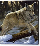 Gray Wolf - Just For Fun Acrylic Print by Crista Forest