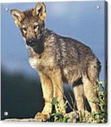 Gray Wolf Pup Montana Acrylic Print