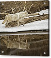 Gray Wolf Reflection Acrylic Print