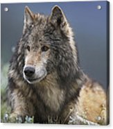 Gray Wolf Resting North America Acrylic Print