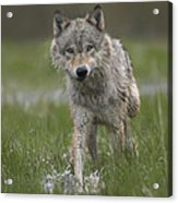 Gray Wolf Walking Through Water Acrylic Print