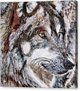 Gray Wolf Watches And Waits Acrylic Print by J McCombie