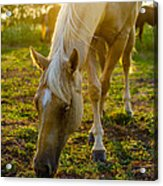 Grazing At Sunset Acrylic Print