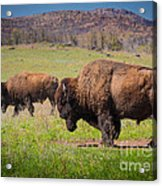 Grazing Bison Acrylic Print