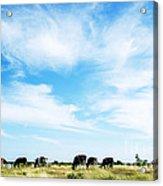 Grazing Cattle Acrylic Print