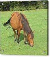 Grazing Chestnut Pony Acrylic Print