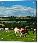 Grazing Cows Acrylic Print