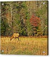 Grazing Elk Acrylic Print