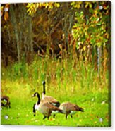 Grazing Geese Acrylic Print
