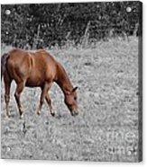 Grazing Horse Acrylic Print