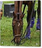 Grazing Polo Pony Acrylic Print