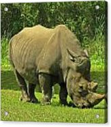 Grazing Rhino Acrylic Print