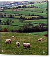 Grazing Sheep In Green Fields Acrylic Print