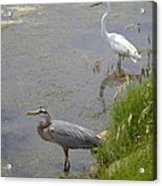 Great Blue And White Egrets Acrylic Print