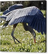 Great Blue Dining Out Acrylic Print
