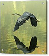 Great Blue Fly-by Acrylic Print