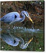 Great Blue Heron #1 Acrylic Print