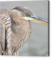 Great Blue Heron 4 Acrylic Print