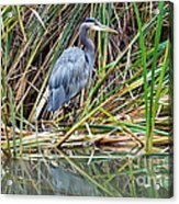 Great Blue Heron 9 Acrylic Print