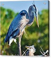 Great Blue Heron And Baby Acrylic Print