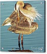 Great Blue Heron Ardea Herodias Preening Acrylic Print