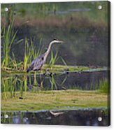 Great Blue Heron At Down East Maine Wetland Acrylic Print
