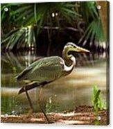 Great Blue Heron By Pond Acrylic Print