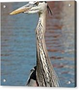 Great Blue Heron By The Water Acrylic Print