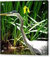 Great Blue Heron By Yellow Flower Acrylic Print