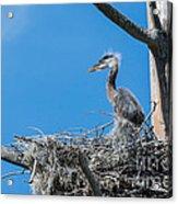 Great Blue Heron Chick Acrylic Print