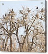 Great Blue Heron Colony Acrylic Print