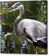 Great Blue Heron - Colorful Reflections Acrylic Print