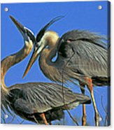 Great Blue Heron Courting Pair Acrylic Print