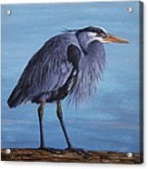Great Blue Heron Acrylic Print by Crista Forest